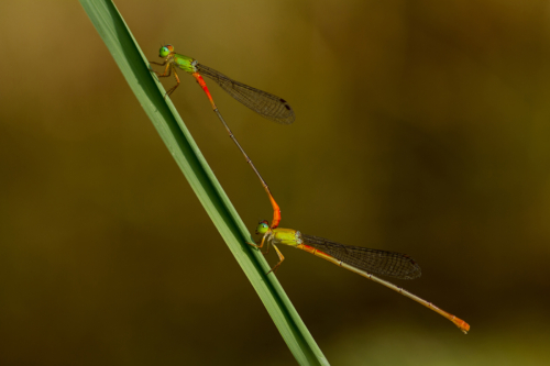 13 points-Dragon Fly Mating-Pradeep Mallikararchchi