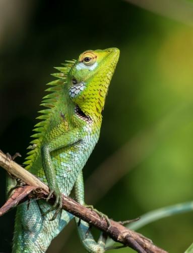 8 points-Lizard-Ajith Hidakaraldeniya