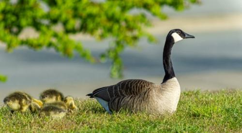 9 points- Goose Mum on the lookout-Mervyn Perera