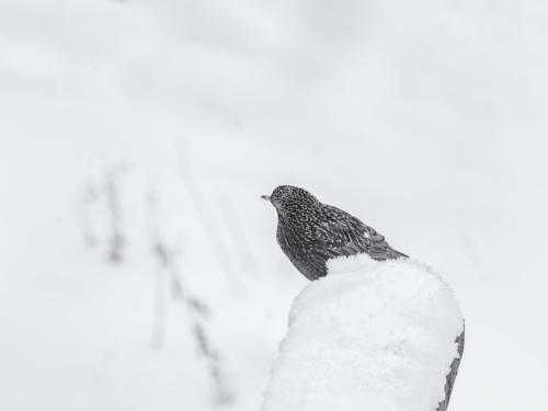 9 points-SNOW BIRD-Arulramalingam